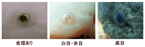 ウーパールーパーの目の種類