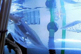 ウーパールーパーの水合わせ方法