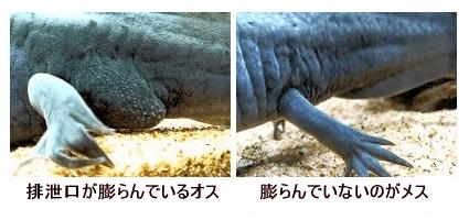 ウーパールーパー 雄と雌の見分け方