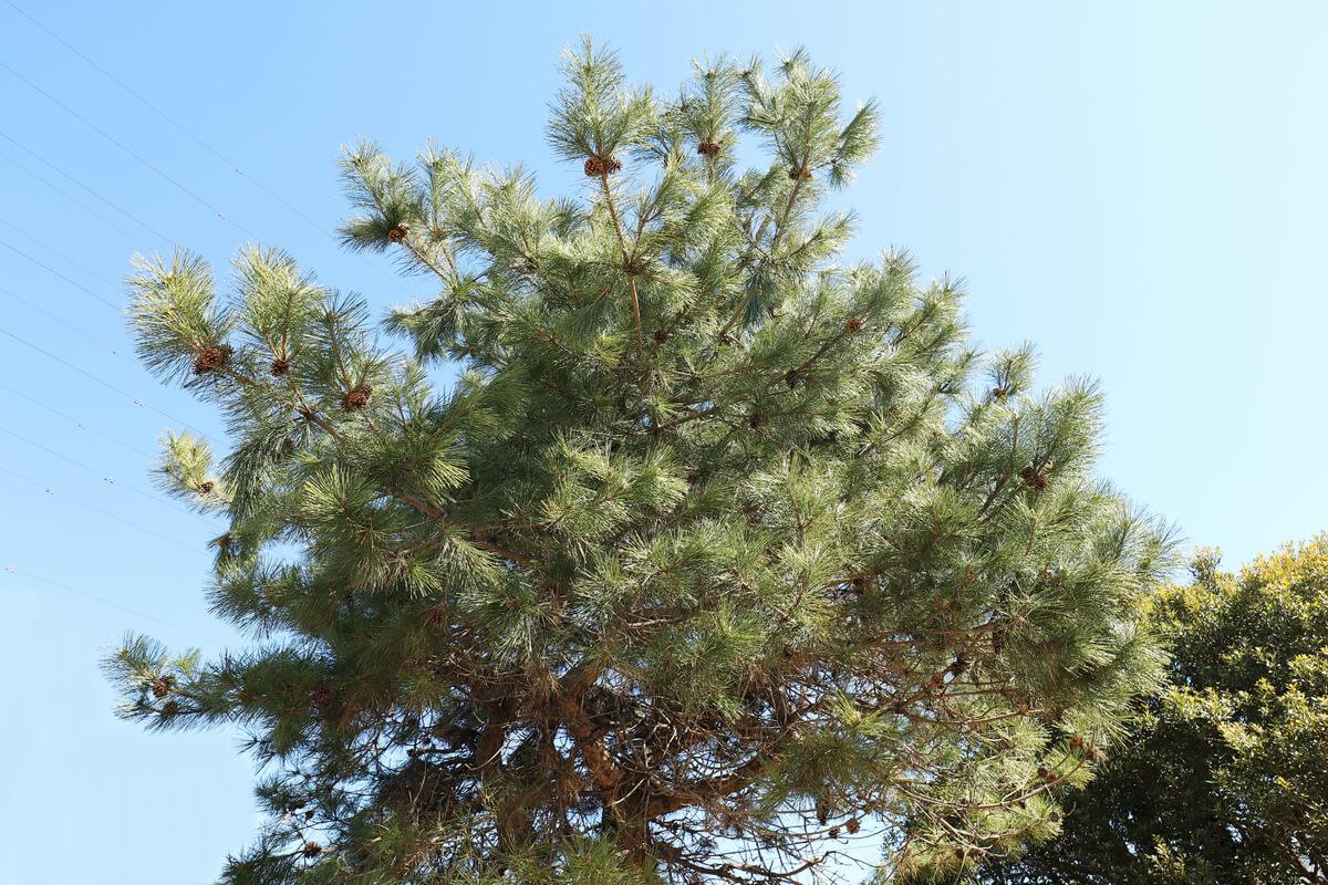 手入れをしていない松の木