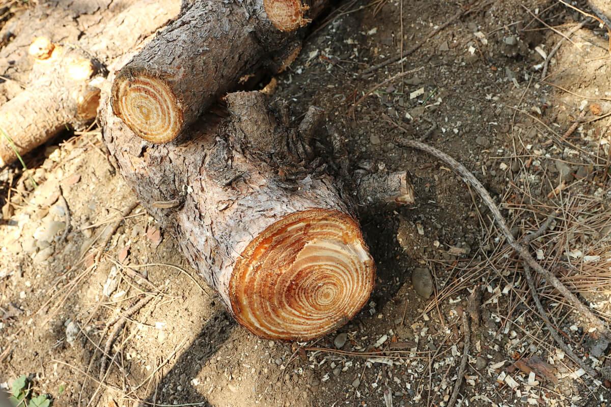 チェーンソーで切った松の太い枝
