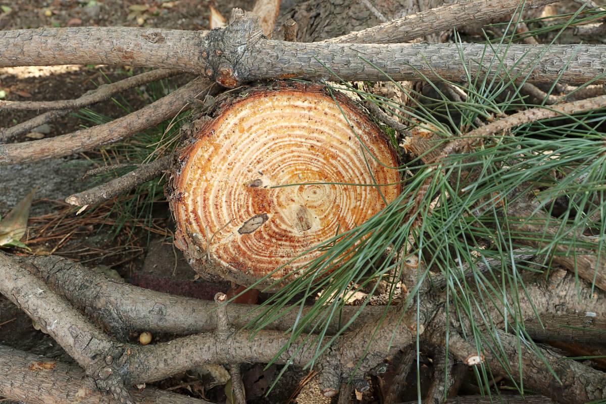 チェーンソーで切った松の木の断面